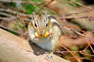 ドングリを食べるシマリスの写真素材 [FYI00280938]