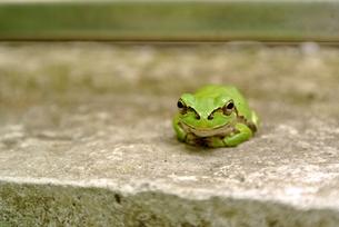 笑顔のカエルの写真素材 [FYI00280951]