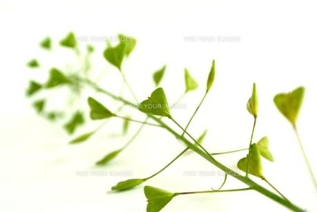 なずなのハートの葉の写真素材 [FYI00280966]