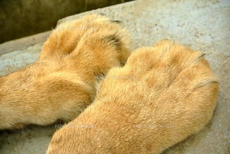 ライオンの手の写真素材 [FYI00280978]