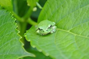 蛙とアジサイの写真素材 [FYI00280979]