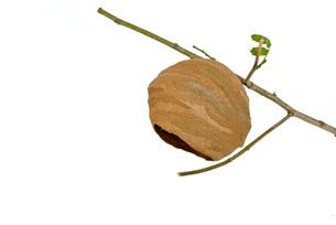 コガタスズメバチの巣の写真素材 [FYI00280984]