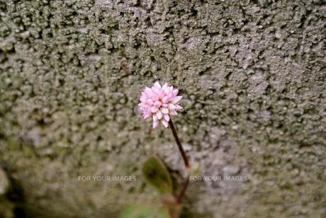 ヒメツルソバの花の素材 [FYI00280988]