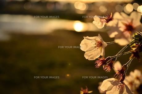 夕日と桜の素材 [FYI00281173]