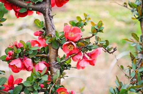 ボケの花の素材 [FYI00281180]