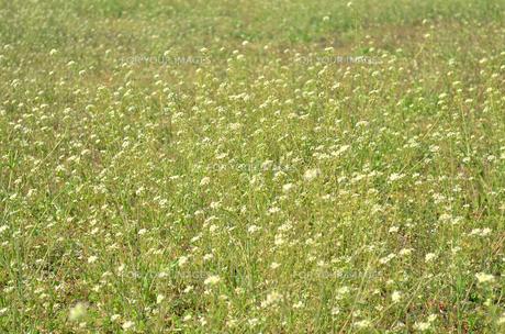 なずな畑の写真素材 [FYI00281189]