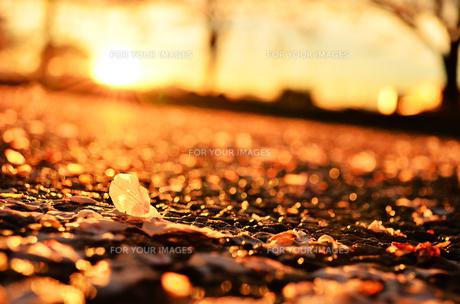 桜と夕日の素材 [FYI00281200]