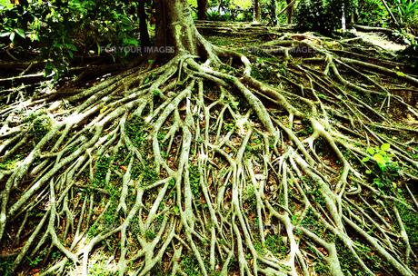 木の根の素材 [FYI00281237]