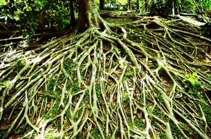 木の根の写真素材 [FYI00281237]