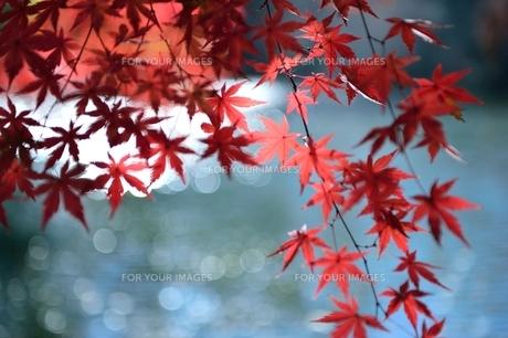 池と紅葉の写真素材 [FYI00281240]