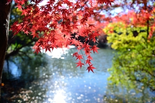 紅葉と池の写真素材 [FYI00281244]