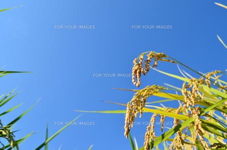 稲と空の素材 [FYI00281250]