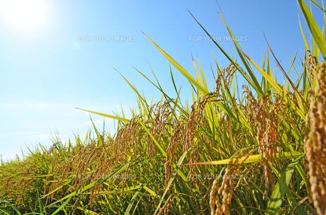 稲の素材 [FYI00281255]