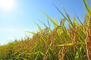 稲の写真素材 [FYI00281255]