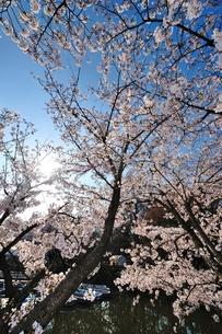 朝日の桜の写真素材 [FYI00281261]