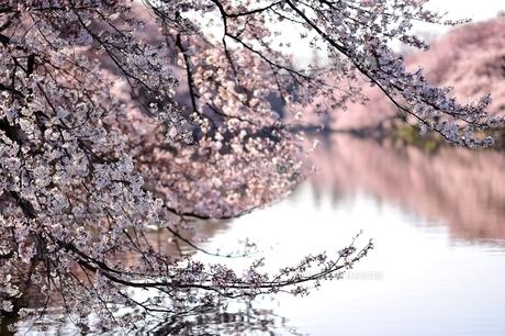 水辺の桜の写真素材 [FYI00281265]
