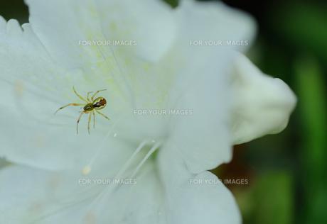 つつじに隠れていた花蜘蛛の写真素材 [FYI00281279]