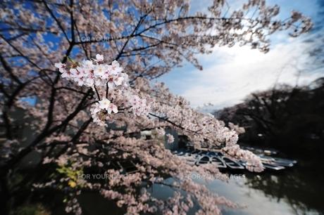 さくら咲くの写真素材 [FYI00281287]