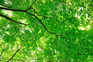 新緑の天井の写真素材 [FYI00281332]