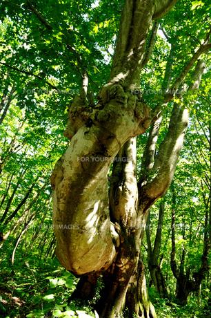腕のようなブナの木の写真素材 [FYI00281352]