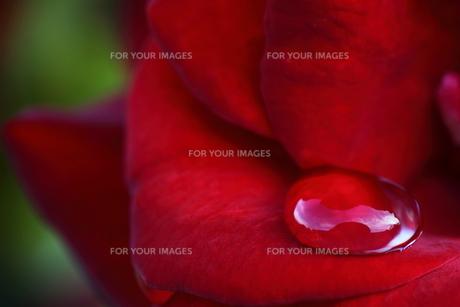 赤いバラの水玉の素材 [FYI00282023]