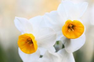 水仙の花の素材 [FYI00282066]