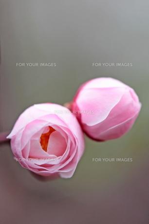 春の訪れを告げる紅梅の蕾の素材 [FYI00282114]