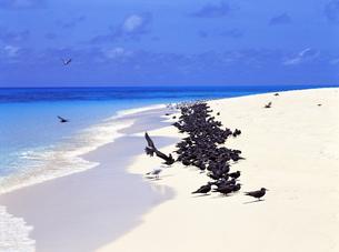 野鳥の楽園 オーストラリアのミコマスケイの写真素材 [FYI00282116]