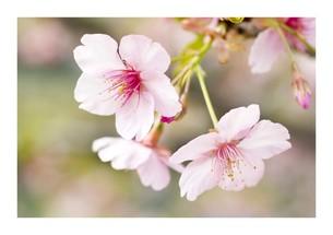 春爛満の素材 [FYI00282138]