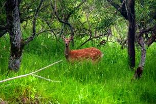 ヨシの上の親鹿の写真素材 [FYI00282237]