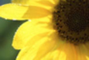 向日葵と朝露の写真素材 [FYI00282309]