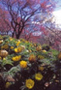 梅林に咲くフクジュソウの素材 [FYI00282315]