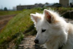 白犬の横顔の写真素材 [FYI00282348]