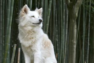 白い犬 遠くを見つめるの写真素材 [FYI00282349]
