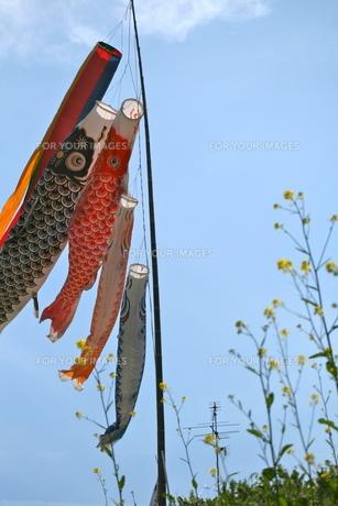 鯉のぼりと菜の花の写真素材 [FYI00282360]