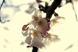 花びらにうつるつぼみの写真素材 [FYI00282563]