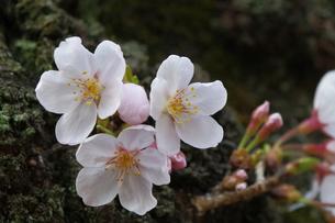 幹に咲く桜の素材 [FYI00282576]