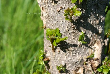 山椒の芽の写真素材 [FYI00282726]