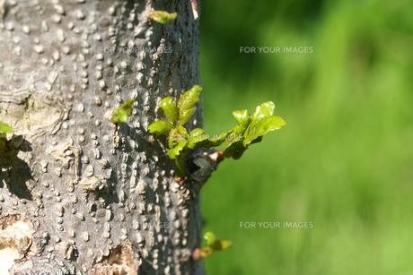 山椒の芽の写真素材 [FYI00282727]