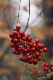 赤い実の写真素材 [FYI00283188]