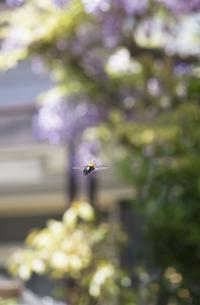 熊蜂の飛行の写真素材 [FYI00283193]