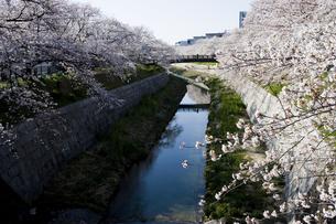 桜と川2の写真素材 [FYI00283195]