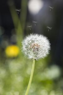 たんぽぽの綿毛飛翔の写真素材 [FYI00283212]