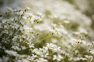 花畑の写真素材 [FYI00283215]