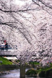 岩倉の桜の写真素材 [FYI00283226]