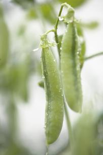 エンドウ豆の写真素材 [FYI00283234]