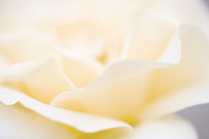 白バラの写真素材 [FYI00283239]