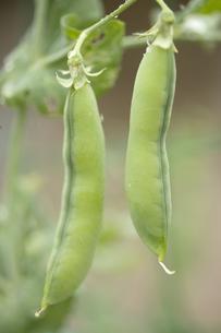 エンドウ豆の写真素材 [FYI00283243]
