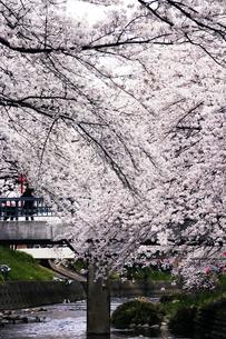 岩倉の桜の写真素材 [FYI00283247]
