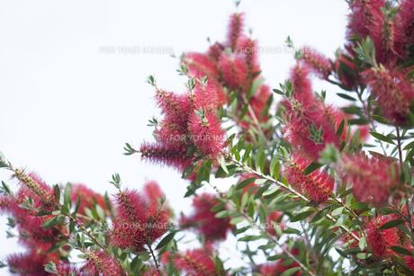 ブラシの木の写真素材 [FYI00283262]